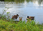 Canada Geese Family, New Hampshire