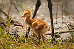 Sandhill Crane chick standing at edge of water with adult Sandhill legs in background