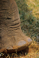 African Elephant foot.  Africa.  See 3ME1154 for footprint.