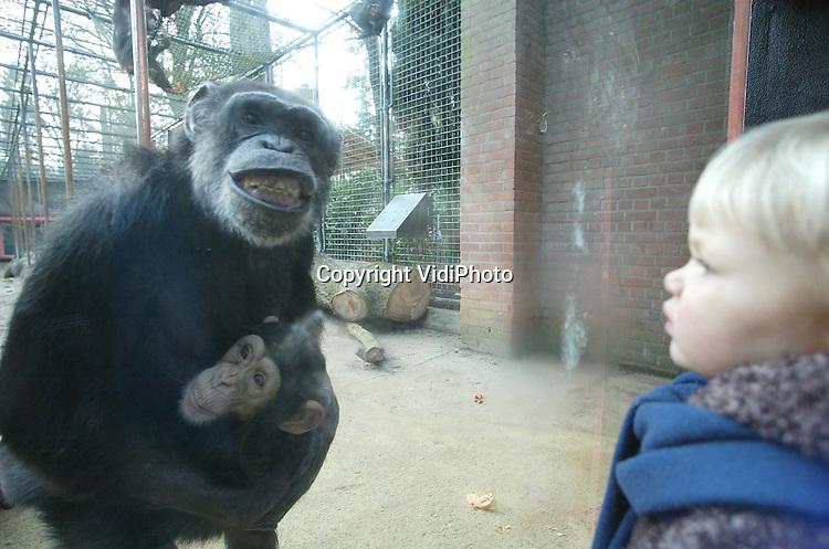 Foto: VidiPhoto..AMERSFOORT - De unieke chimpanseegroep van Dierenpark Amersfoort heeft vrijdag een nieuw verblijf in gebruik genomen. Op veel plaatsen waar eerst tralies stonden is er nu glas geplaatst, waardoor er een interactie plaatsvindt tussen dieren en publiek. De 24 chimpansees van Dierenpark Amersfoort zijn bijzonder omdat het hier om de enige raszuivere groep Afrikaanse chimps in Nederland gaat.