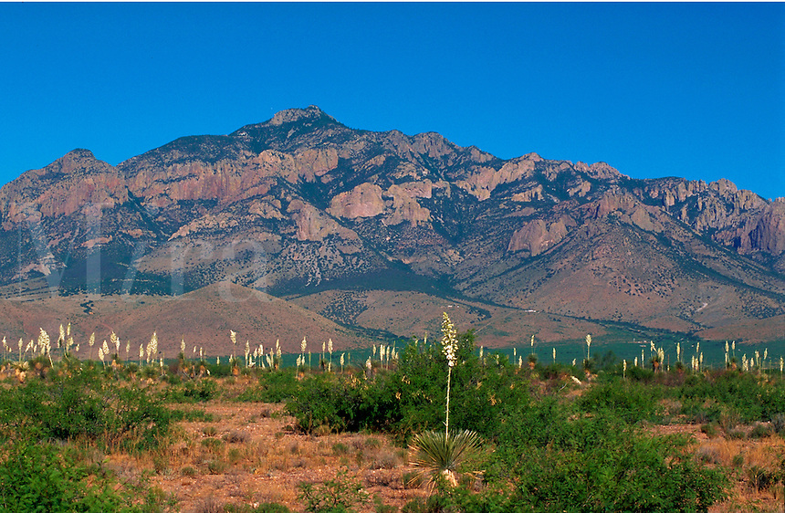 The eastern side of the Chiricahua Mountains with yuccas in full bloom leading the way to the Cave Creek Canyon. Arizona.
