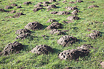 Molehills in a grassy field, Suffolk, England