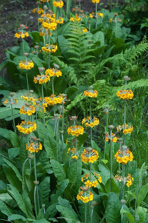 Primula bulleyana, early June.