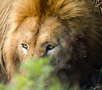 A lion gazes out from behind the cover of a bush in the Ngorongoro National Park, Tanzania.