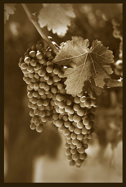 Cabernet grapes on vine in Napa Valley