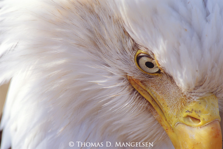 A unique portrayal of the bald eagle, this image captures a macro look at the most identifiable characteristics of our nation's bird.<br /> Kenai Peninsula, Alaska.