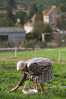 Europe/France/Midi-Pyrénées/46/Lot/Gaillac:Rammassage du Safran du Quercy à la safranière de la ferme de Didier Doucet //  France, Lot, Gaillac, Didier Doucet's Farm, saffron plantation, Quercy Saffron, harvesting of Crocus sativus flowers where saffron is extracted