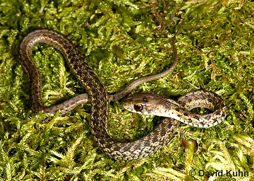 0102-0904  Young Garter Snake on Moss, Thamnophis sirtalis, Maine  © David Kuhn/Dwight Kuhn Photography