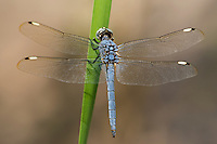 389220011 a wild male comanche skimmer libellula comanche perches on a stick near roper lake in roper state park graham county arizona