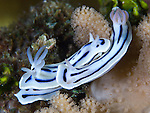 A pair of Loch's chromodoris (Chromodoris lochi) amongst coral,depth 12 metres, Florida Islands, Solomons