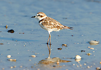 Adult snowy plover in non-breeding plumage