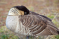 The Nene Goose (pronounced nay nay), Nesochen sandvicensis, is an endemic land bird, an endangered species, and Hawaii's state bird, Haleakala National Park, Maui, Hawaii, USA