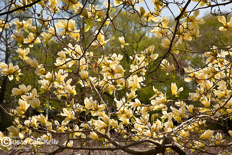 Elizabeth Magnolia at the Arnold Arboretum, part of Boston's Emerald Necklace in the Jamaica Plain neighborhood of Boston, MA, USA