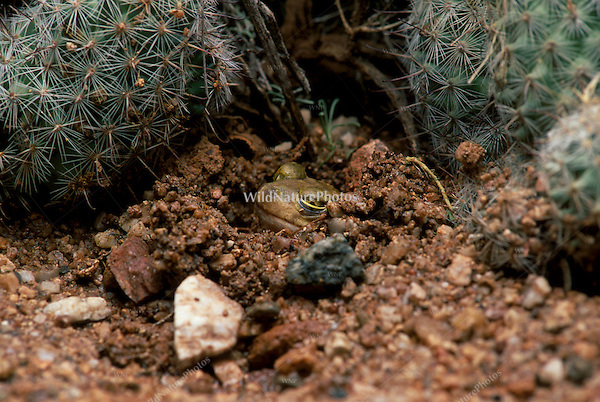 Couch's Spadefoot, estivating; Sonoran Desert, Arizona
