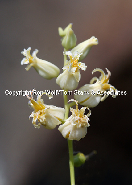 Variable-leaved Jewel Flower (Streptanthus diversifolius). North Table Mountain. Near Oroville, Butte Co., Calif.