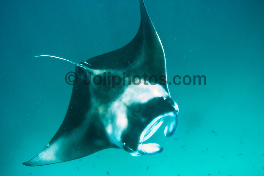 Manta Rays in the South Male Atolls, Maldives (Monday, June 15th, 2009). Photo: joliphotos.com