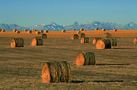 Canadian agricultural landscape of bales of hay on a prairie with a mountain background. Canada.