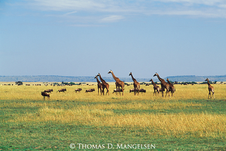 Herds of giraffes and blue wildebeest stand together on the African savannah.