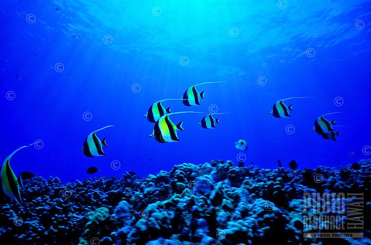 The moorish idol (Zanclus cornatus) is one of Hawaii's more colorful reef fishes. Hawaiian name is kihikihi .