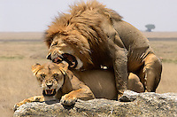 Male and Female African Lions (Panthera leo) Serengeti, Tanzania Serengeti, Tanzania