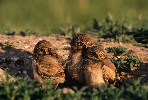 Burrowing Owl (Athene cunicularia), young at burrow, USA