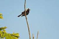 Bobolink (Dolichonyx oryzivorus).  Male in breeding plummage.   Lake Ontario. Ontario, Canada.
