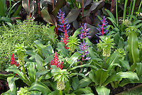 Eucomis bicolor summer flowering bulb tropical style garden in flower with purple leaved foliage Canna, garden planting combination