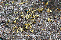 03023-02610 Eastern Tiger Swallowtails (Papilio glaucus) & Pipevine Swallowtails puddling,  Great Smoky Mountains NP, TN