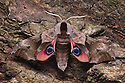 Eyed hawkmoth {Smerinthus ocellata} showing eye spots on wings during deimatic display to deter predators. Surrey, UK. Sequence 2 of 2.