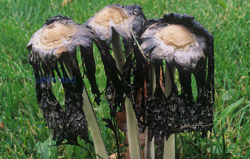 Shaggy Mane mushrooms after spore release ,Coprinus comatus,, Basidiomycetes, North America.