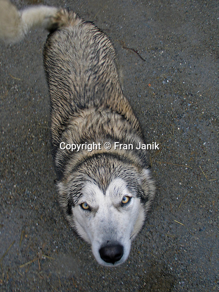 A wet and hungry wolf dog with ears pinned back looks into the camera with it's wild yellow eyes.