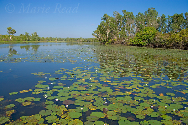 Waterlilies at Yellow Water, Kakadu National Park, Northern Territory, Australia