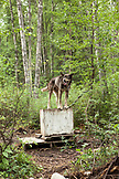 USA, Alaska, Talkeetna, a sled dog called Cooper tied up to his kennel, Huskytown