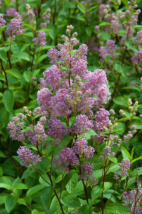 Pink California lilac (Ceanothus x pallidus 'Perle Rose'), early July.