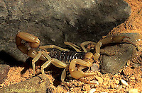 SI23-001c  Giant Hairy Scorpion in desert - Hodrurus arizonensis