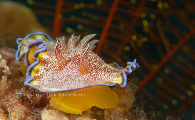 White Spotted Chromodoris, Chromodoris albopunctata, Anilao, Batangas, Philippines, Amazing underwater Photography