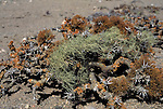 Lichen growing in the Namib Naukluft rocky desert.  Skeleton Coast, Namibia. These lichens rely on the moisture out of the air and sea fogs in a region where there is little to no rainfall.