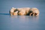 Polar bear asleep on the ice, North America.