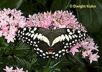 LE45-500z  Spotted Butterfly, Citrus Swallowtail Butterfly, Papilio demodocus, Africa