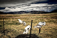 Animal skulls on a fence in the Valle Grande, part of the Valles Caldera National Preserve with Cerro Grande and Pajarito Mountain in the distance, both scarred from the Las Conchas wildfire.