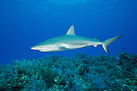 pk10289-D. Caribbean Reef Shark (Carcharhinus perezi). Bahamas, Atlantic Ocean..Photo Copyright © Brandon Cole. All rights reserved worldwide.  www.brandoncole.com..This photo is NOT free. It is NOT in the public domain. This photo is a Copyrighted Work, registered with the US Copyright Office. .Rights to reproduction of photograph granted only upon payment in full of agreed upon licensing fee. Any use of this photo prior to such payment is an infringement of copyright and punishable by fines up to  $150,000 USD...Brandon Cole.MARINE PHOTOGRAPHY.http://www.brandoncole.com.email: brandoncole@msn.com.4917 N. Boeing Rd..Spokane Valley, WA  99206  USA.tel: 509-535-3489