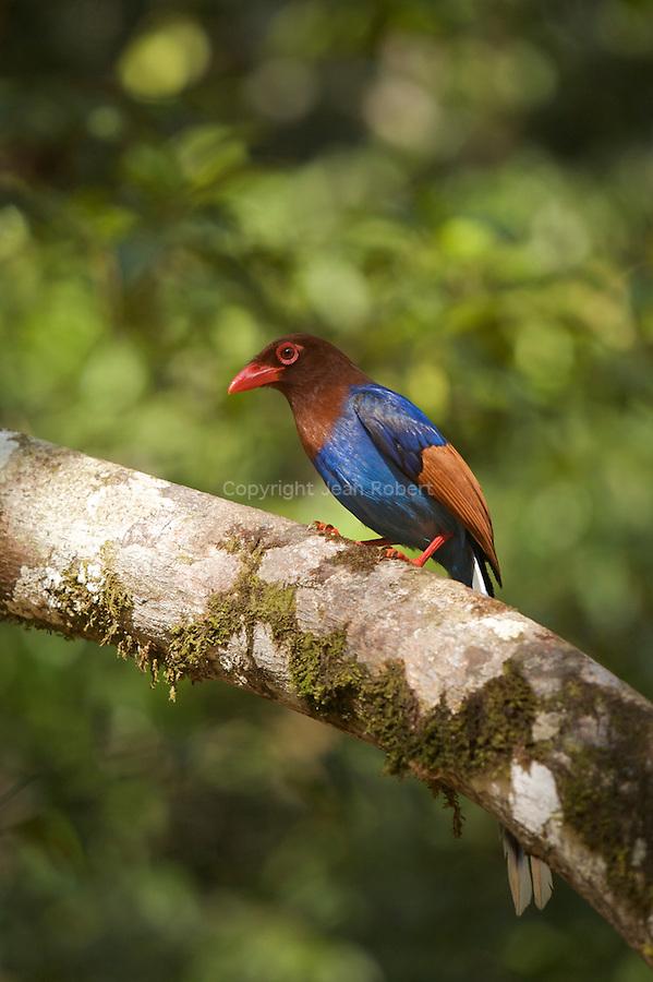Pirolle de ceylan, Urocissa ornata.sri lanka blue magpie.. Cet oiseau fréquente les forêts denses et humides de feuillus, y compris les lisières des plantations de thé. Il vit à la fois dans les zones humides de plaine et dans les collines, entre 150 et 2100 mètres d'altitude..Endémique du Sri Lanka, il est confiné dans la partie sud-ouest de l'île (principalement provinces d'Uva et Central). .Singarajah rain forest.  Singarajah was declared a world heritage site in 1989. It covers 11,187 hectares of Sri Lankan lowland rainforest.Out of 25 plants endemic to Sri Lanka, 13 are represented in Singarajah and of the 340 woody species recorded in Singarajah, 192 are endemic to Sri Lanka. There is a high degree of endemism among the butterflies, fish, amphibians, reptiles, birds and mammals. 95% of the endemic birds of Sri Lanka have been recorded in Singarajah. ..