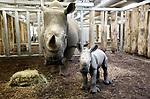 Foto: VidiPhoto<br /> <br /> ARNHEM – Burgers' Zoo heeft er een breedlidneushoorn bij. Dat heeft de Arnhemse dierentuin vrijdag bekend gemaakt. Het mannetje maakt op het oog een gezonde indruk. Het is alweer het elfde neushoorntje dat sinds 1998 in het Arnhemse dierenpark het levenslicht ziet. Burgers' Zoo staat hiermee in de Europese top vijf van neushoornfokkers. Europa kent in totaal 90 dierenparken met breedlipneushoorns. Met de geboorte van het breedlipneushoornmannetje zijn er in totaal acht van deze onevenhoevige zoogdieren in Burgers' Safari. Fokken met neushoorns is lastig. Lang niet alle volwassen mannetjes blijken vruchtbaar te zijn en daarnaast komt bij neushoornvrouwtjes ook regelmatig cystevorming in de baarmoederhoorns voor. Hierdoor kan het sperma de eicel niet meer bereiken, of kan de eicel niet loskomen uit de eierstok.