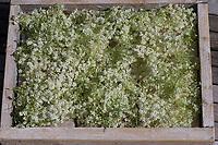 Holunderblüten, Holunderblüte, Holunder-Blüte, Blüten, Ernte, Kräuterernte, zum Trocknen gesammelt. Schwarzer Holunder, Sambucus nigra, Fliederbeeren, Fliederbeere, Common Elder, Elderberry, Sureau commun, Sureau noir