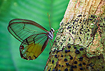 The clear-winged butterfly has evolved transparent wings that are not easily spotted by predator, Napo River region, Peru.