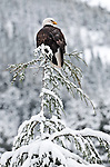 Bald Eagle, near Chilkoot Lake, Haines, Alaska