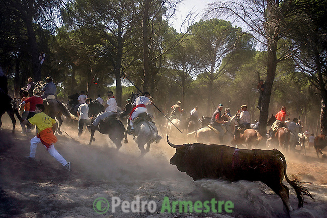 The bull chases a man as they take part in the 'El toro de la Vega' (The bull of the plain) bullfight, 13 September 2005 in Tordesillas. On the second Tuesday of September, since the fifteenth century the village has celebrated this very special bullfight. The arena of the bullfight is the plain across the river from the village and it is up to a number of young men with lances to dispute the honour of making the fatal strike. (c) Pedro ARMESTRE