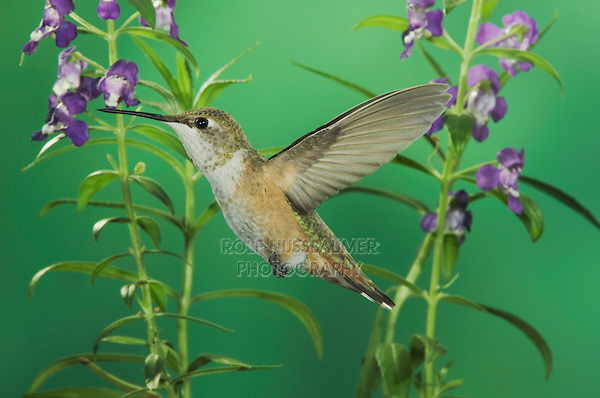 Rufous Hummingbird, Selasphorus rufus, immature in flight feeding on Purple Angelonia(Angelonia angustifolia), Paradise, Chiricahua Mountains, Arizona, USA, August 2005
