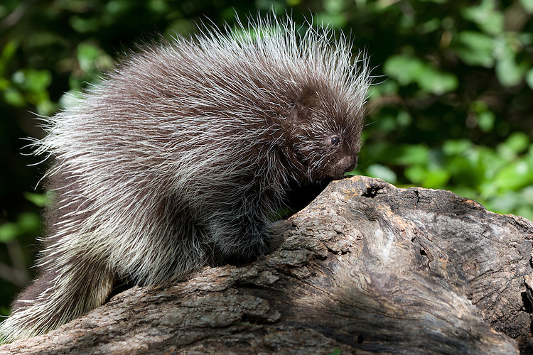 Baby Porcupine walking on an old log - CA