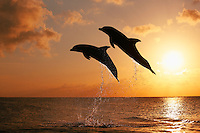 qk1975-D. Bottlenose Dolphins (Tursiops truncatus). Honduras, Caribbean Sea..Photo Copyright © Brandon Cole. All rights reserved worldwide.  www.brandoncole.com..This photo is NOT free. It is NOT in the public domain. This photo is a Copyrighted Work, registered with the US Copyright Office. .Rights to reproduction of photograph granted only upon payment in full of agreed upon licensing fee. Any use of this photo prior to such payment is an infringement of copyright and punishable by fines up to  $150,000 USD...Brandon Cole.MARINE PHOTOGRAPHY.http://www.brandoncole.com.email: brandoncole@msn.com.4917 N. Boeing Rd..Spokane Valley, WA  99206  USA.tel: 509-535-3489